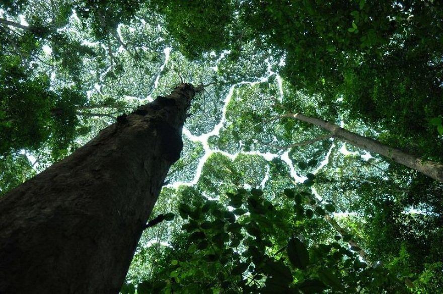 timidezza-degli-alberi-4